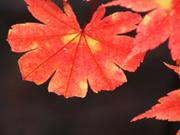 Maple leaf, Lake Towada, Akita-ken., Japan, photo