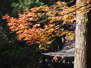 Maples, Chusonji Temple, Hiraizumi, Iwate-ken, Japan, photo