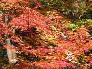 Maple tree, Chusonji Temple, Hiraizumi, Iwate-ken, Japan, photo
