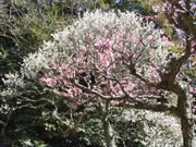 Pink and white plum blossoms, Naritasan Park, Narita, Chiba-ken, Japan, photo