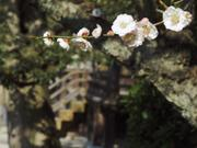 Blossoms and steps, Naritasan Shinshoji Temple, Narita, Chiba-ken, Japan, photo