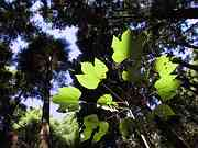 Leaves and sky light, Trail to Jomon cedar, Yakushima, Kagoshima-ken, Japan, photo