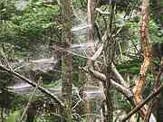 Spider\'s webs in tree, Five lakes, Shiretoko peninsula, Hokkaido, Japan, photo