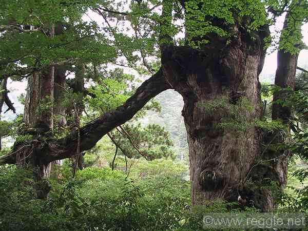 Husband and wife trees, Trail to Jomon cedar, Yakushima, Kagoshima-ken, Japan, photo