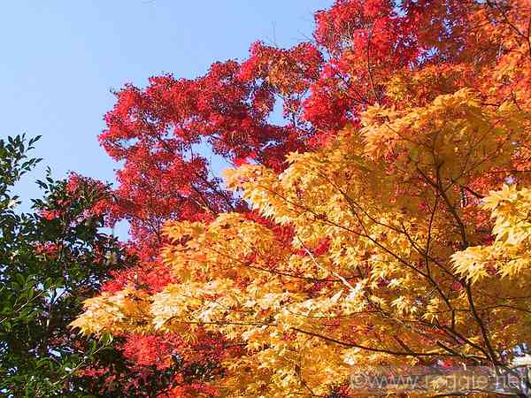 Yellow and red maples, Tetsugaku path, Kyoto, Japan, photo