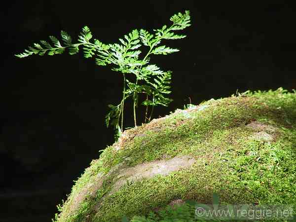 Fern on mossy stone, Shoyo Gardens, Nikko, Tochigi-ken, Japan, photo