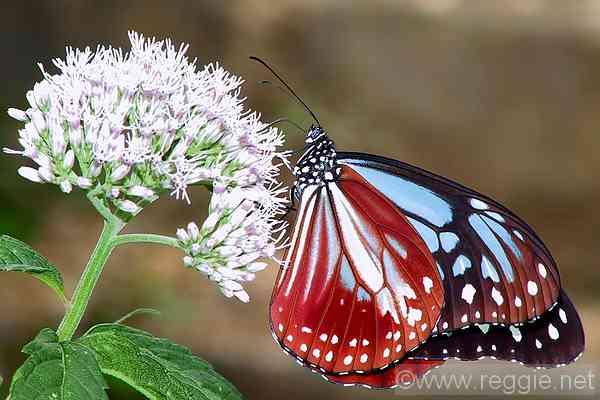 Butterfly, Mt. Zao, Mi...