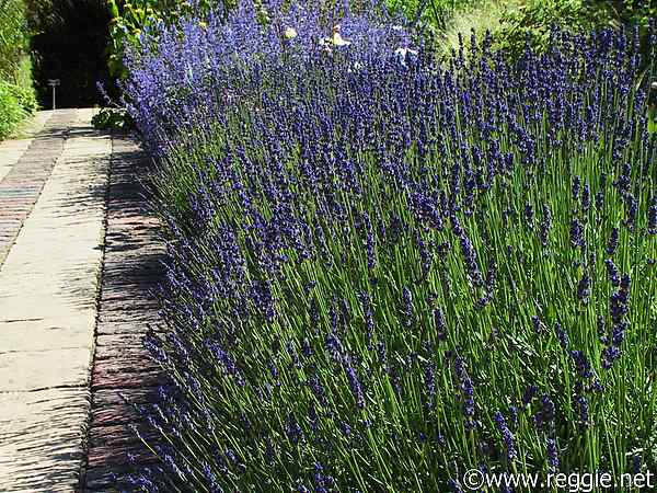 Good Rosemary, Scented Garden, England, Photo
