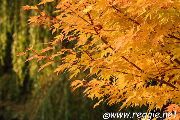 japanese maple tree pictures. Japanese maple with yellow