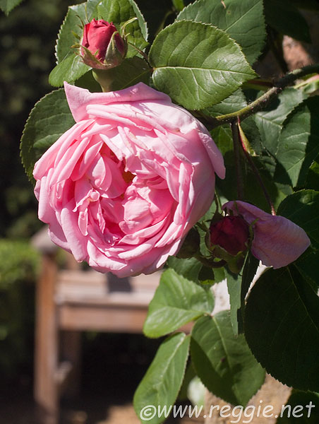 Pink rose, Clare College
