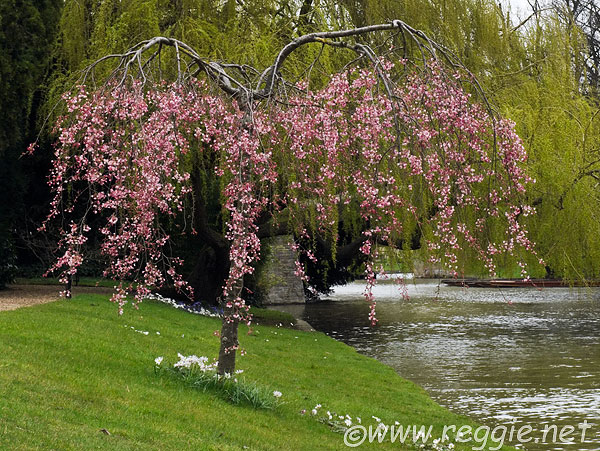 weeping cherry tree pictures. Weeping cherry tree in full