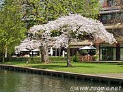 Cherry blossom tree in full bloom, Garden house hotel, Cambridge, England