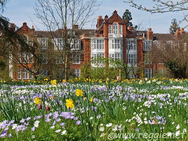Blue and white anenomes with daffodils, near Peile Hall, Newnham College gardens, Cambridge, England