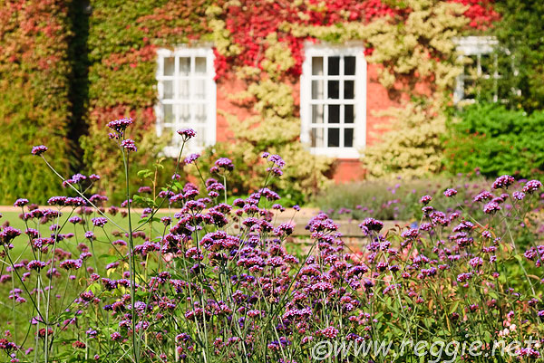 Verbena bonariensis, with backdrop of Boston ivy  on Sidgwick Hall walls, Newnham College, Cambridge, England