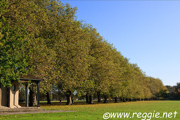 Avenue of London Planes, Jesus Green, Cambridge, England