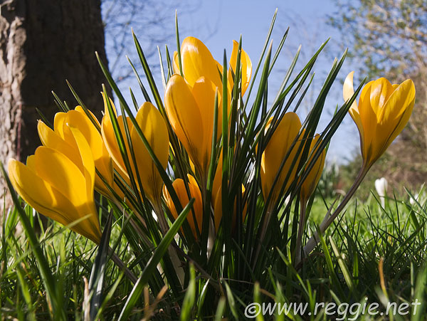 Yellow Crocuses, the Deer Park, Peterhouse, Cambridge, England