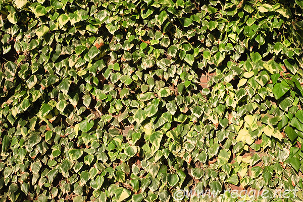 Variegated ivy, Sidney Sussex College