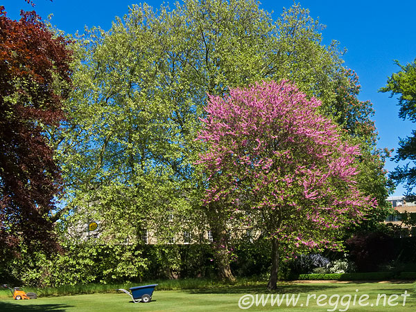 Reggie thomsons photography blog pink flowering unidentified tree pink flowering tree fellows gardens sidney sussex college cambridge england mightylinksfo