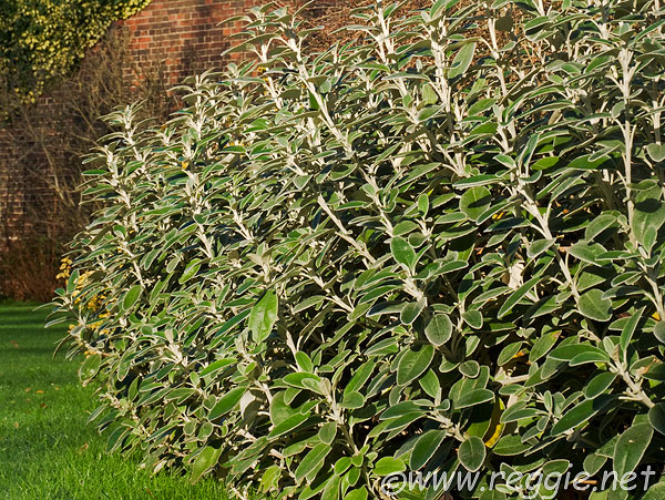 Evergreen border shrub on tennis court, Sidney Sussex College, Cambridge, England