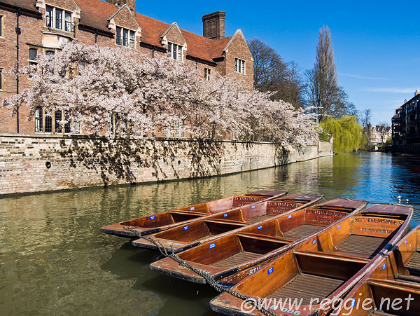 Cherry blossoms and punts, River Cam, Quayside and Magdalene College, Cambridge, England
