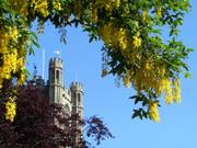 Laburnum and Octagon, Ely Cathedral, Ely, Cambs, England, photo