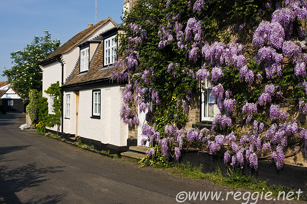 Wisteria on Cottage wall, Chapel Lane, Houghton, Cambridgeshire, England