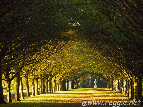Hornbeam trees in Jubilee Avenue, Anglesey Abbey, Lode, Cambridgeshire, England