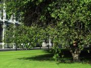 Tree in Front lawns, Trinity College, Dublin, Ireland, photo