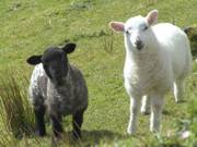 Black and white sheep, Carrowkeel, Co. Sligo, Ireland, photo
