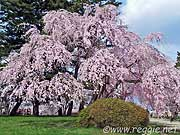 Weeping cherry tree in full bloom, Hirosaki, Aomori-ken, Japan, photo