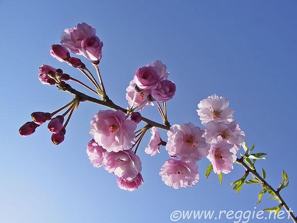 Cherry blossoms in Arashiyama, Kyoto, Japan