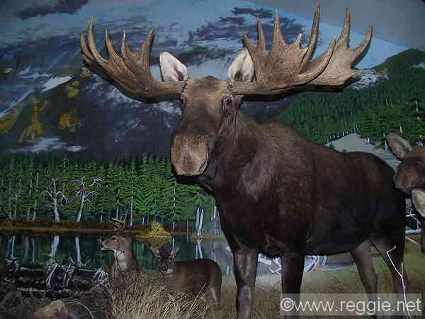 Alaska >> Moose, Bald Eagle Foundation, Haines, Alaska, United States, photo